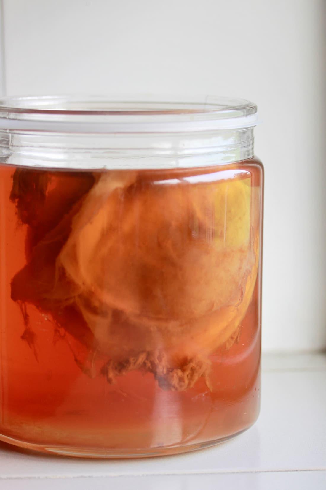 S.C.O.B.Y. floating in a jar of brewing kombucha